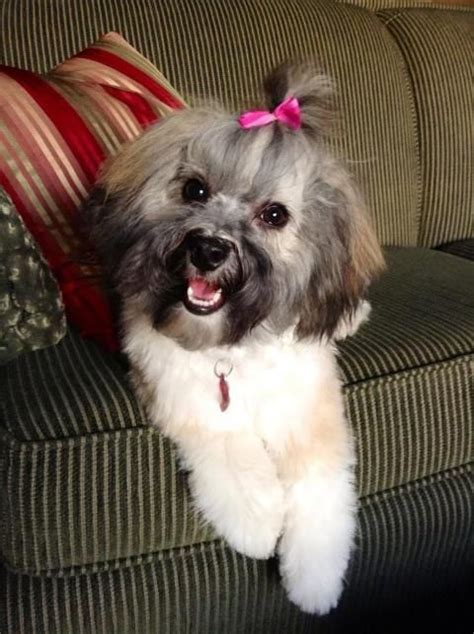 10 Best Havanese Haircut: How to Make Them Look Even More