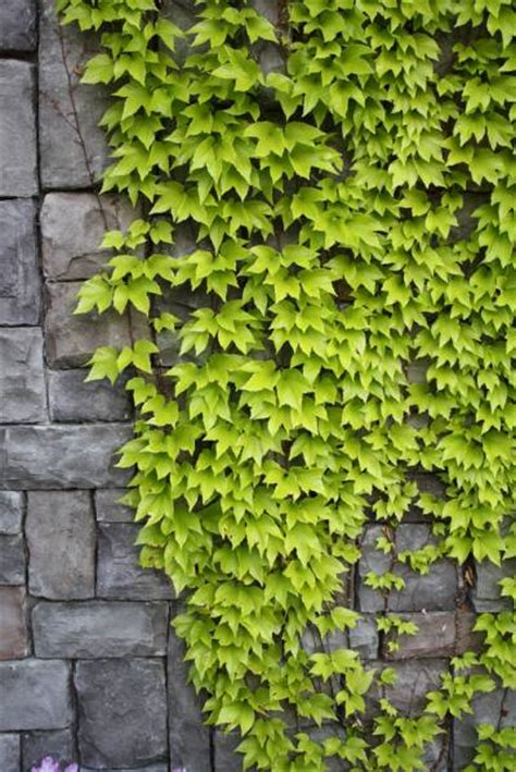 The Right Type of Ivy to Plant Near a Wall   Backyard
