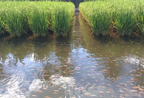 Integrated Rice and Fish Farming Information   Agri Farming