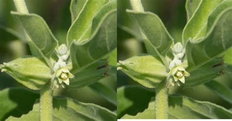 Ashwagandha In Combination With Other Herbs Plants and