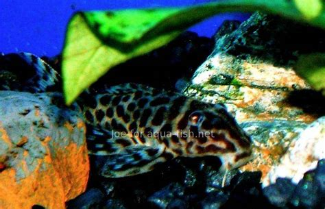 A guide on caring for Peruvian panther pleco (Hypancistrus