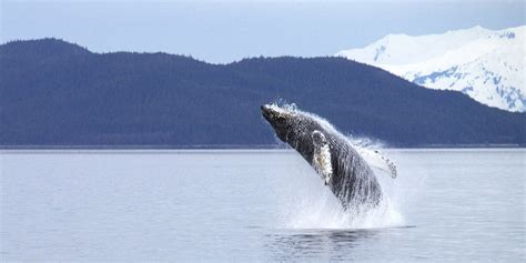 NOAA Proposes Removing Most Humpback Whales From