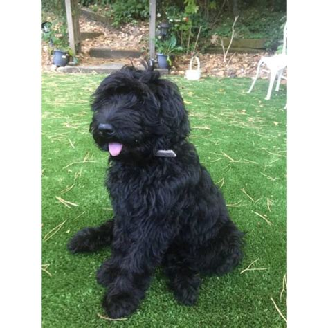 3 months old Labradoodle Female Puppy (Black) in San Ramon