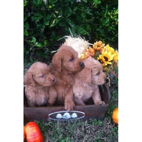 Sweet and lovable Labradoodle puppies with Soft curly